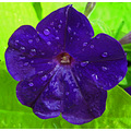 purple flower dew drops
