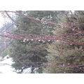rainy day week 7 new haven droplets pine branches