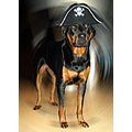 Rottweiler Pirate Halloween