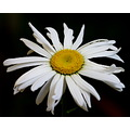 margaret flower white yellow