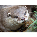 Wildlife Otter