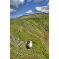 Lake District Blencathra Sheep