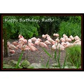 birthday ruth flamingos zoo emmen holland