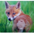 Fox Nature Wild Country