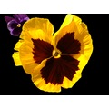 Flower Violet Yellow Petals