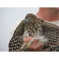 hawk coopershawk COHA