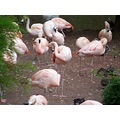 flamingo lagoon bird pink long legs neck bill flock water wet paignton zo