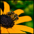 nature insect bug bee flower pollen wings petals yellow green closeup macro