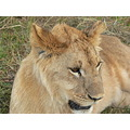 "A few months after my wonderful experience of ""Walking with Lions"" I was keen to get back to be w..."