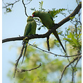 valentinesfriday green parakeets rome