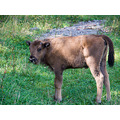 animals bison