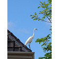 bird white heron rooftop east perth littleollie