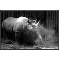 rhino rhinocerous large animal big wild horned horns blackandwhite sunlight rays