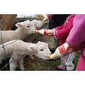 4 pet lambs with numerous names that change from day to day