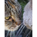british shorthair moggy cats felines animals pets family
