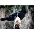 Birds wildlife redwinged blackbird