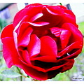 Rose fotothing friends
