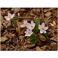 rueanemone wildflower pink thalictrumth alictroides