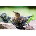 bird birds blackbird turdus merula