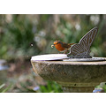 robin bird feeding