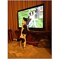 dog pet animal fox terrier foxy television