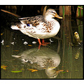 birds reflectionthursday duck