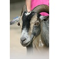 Zoo goat animals pets