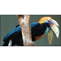 stlouis missouri us usa zoo animal bird Papaun Hornbill 2007