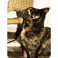 poeky cat staring picture photo photographs islex23