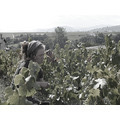 picking Beaujolais sun Mont Brouilly vendanges PIXEL