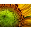 sunflower summer macro judyss