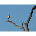 tree dead high bird spoonbill perth hills littleollie