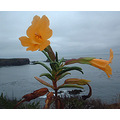 Bush Monkey Flower at Caspar, California