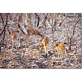 Spotted Deer Axis axis