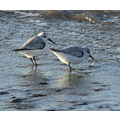 Friends - Two Sanderlings hanging out together.