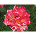 rose color nature