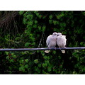 romancefriday 2 turtledoves