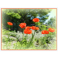 nature flowers poppies