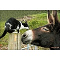 Cat Donkey Animals Pets Love Confrontation Farm Donegal