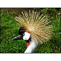 birds grey crowned crane