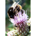 bumblebee ant pink flower colour