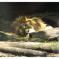 lion sleep