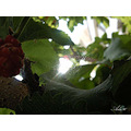 web spider leaves darkness mulberry tree