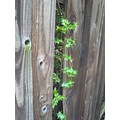 holly fence green brown