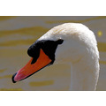 swan bird head beak macro nature