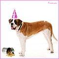 holly saint bernard dog birthday