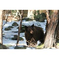 yosemite workshop wildlife yogi california black bear number9