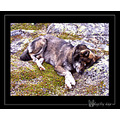 Hardanger Norway dog