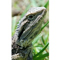 wildlife bearded dragon