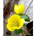 Early Spring Aconites